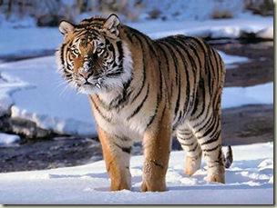 tigre-indocinesiana
