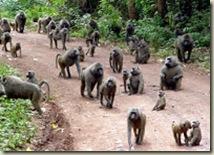 babuini